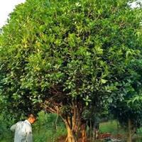 广西桂林地区供应10-45公分桂花树