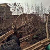 广西桂林地区供应10-45公分银杏树