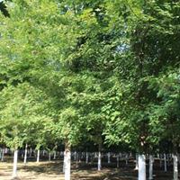 银杏树 *新价格 红枫价格 樱花 海棠 合欢 柿子树
