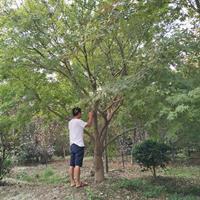 鸡爪槭/槭树大量供应