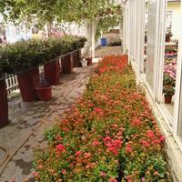 草花长寿花种植基地.出售13杯长寿花.30公分高的长寿花价格