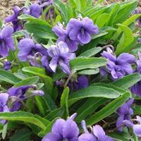 荷兰菊、紫花地丁、大花六道木、狼尾草、沿阶草