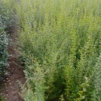 供应小叶女贞、连翘、丰花月季、小叶黄杨、龙柏、蜀桧