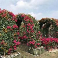 福建漳州拱门造型三角梅盆景基地批发价格高200cm3200元