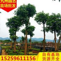 福建重陽木價格 精品重陽木 福建秋楓價格 大規格重陽木行情