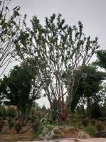 常年供應大規格叢生樸樹單干樸樹造型樸樹