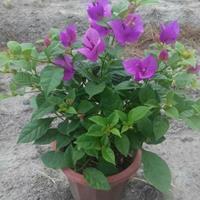 漳州紫色三角梅基地报价高度35-200公分价格9.5元