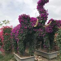 福建漳州动物造型三角梅基地报价高度250公分价格30000元