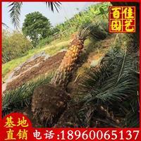 福建中东海枣(银海枣)7米杆高,价格3500元