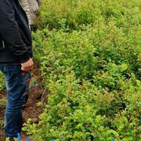 黄刺梅、连翘、金银木、红叶碧桃、绿叶碧桃、榆叶梅、美人梅、紫叶李、紫叶矮樱