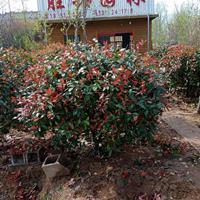 大小规格红叶石楠球/红叶石楠小苗基地