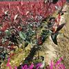 江苏供应苏北地区大量供应红叶石楠杯苗/红叶石楠大杯苗/红叶石楠成活率99%规格齐全