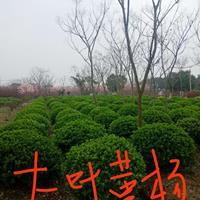江苏江苏地区大量供应大叶黄杨球/高度1米--1.5米的大叶黄杨球供应哪里好/哪家便宜