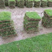 优质特价安徽滁州马尼拉草皮产地直销