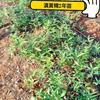 滇黄精2年籽育苗