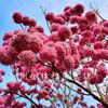 大量批发紫花风铃木种苗多花绣球品种基地报价直销