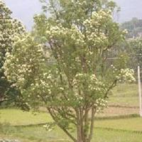 光皮树 地径9-12CM 矮化过