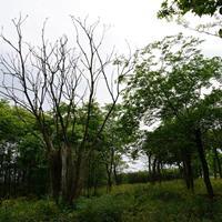 肥西叢生烏桕-肥西叢生烏桕基地-肥西烏桕苗木出售