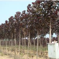 江苏常年供应规格2公分~8公分红叶杨