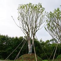 丛生女贞、丛生乌桕、丛生榔榆、丛生朴树、丛生黄连木