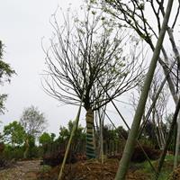 单杆朴树基地15-50cm