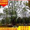 福建朴树移栽苗 漳州移栽朴树苗便宜精品移栽朴树 大规格朴树