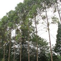 米径6-7公分的桉树批发价格.桉树基地出售