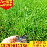 福建葱兰批发价格便宜 漳州葱兰报价走势 哪里有便宜的葱兰便宜