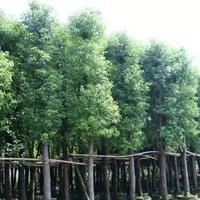 福建漳州胸徑20公分香樟樹基地價格1250元