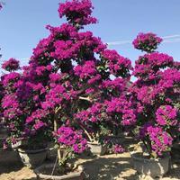 福建漳州紫色造型三角梅樁景 高300cm 冠200cm