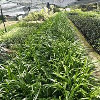 鳶尾價格 農家自產自銷 15-35公分高價格0.65元