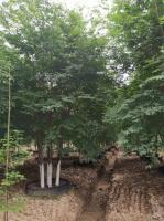 容器叢生櫸樹