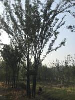 供應叢生櫸樹