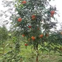 辽宁苗圃直销花楸树 百花花楸1-10公分 树形优美 常年批发