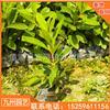 福建锦绣毛杜鹃花卉盆栽袋苗 哪里有锦绣毛杜鹃花卉盆栽袋苗便宜