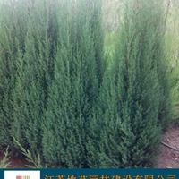 地藝苗圃大量供應北京檜柏 北京檜柏基地 北京檜柏圖片