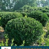 冬青球 大叶黄杨球 地艺苗圃大量供应冬青球 大叶黄杨球基地