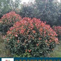 供应红叶石楠球 江苏红叶石楠球产地 江苏地艺园林苗圃基地