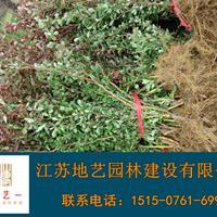 地艺苗圃大量供应红叶小檗 红叶小波基地 红叶小檗