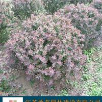 供应红叶小檗球产地 江苏地艺园林苗圃基地 红叶小波球