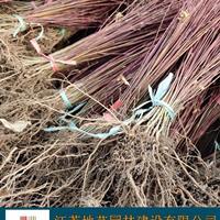 供应鸡爪槭小苗 江苏鸡爪槭小苗产地 江苏地艺园林苗圃基地