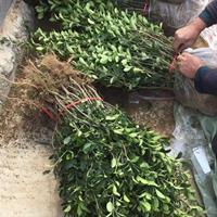 花木供應,大葉黃楊,小葉黃楊,金邊黃楊,北海道黃楊,豆瓣黃楊