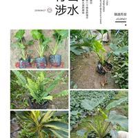 大量春羽龟背竹等袋装地苗出售