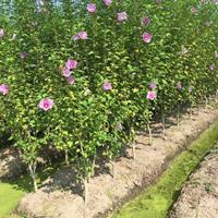 木槿、木棉、荆条、朝开暮落花、喇叭花、朝菌大量供应