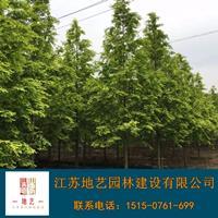 地藝苗圃大量供應金葉水杉價格 金葉水杉基地 金葉水杉圖片