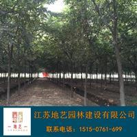 供应榉树产地 江苏地艺兴发娱乐苗圃基地 江苏榉树价格 江苏红榉