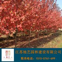 美國紅楓產地 江蘇地藝園林苗圃基地 江蘇美國紅楓價格