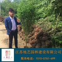 木槿 江苏木槿价格产地 江苏地艺兴发娱乐苗圃基地