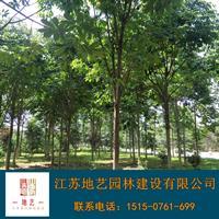 基地直銷七葉樹  七葉樹照片 江蘇七葉樹產地 七葉樹價格