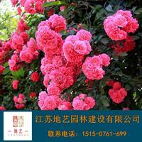 薔薇 地藝苗圃大量供應薔薇 江蘇薔薇價格